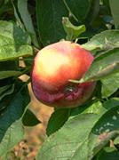 Red apple on a apple-tree. Stock Photos