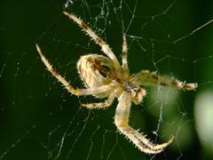 Araneus diadematus spider taken closeup on a green. Stock Photos