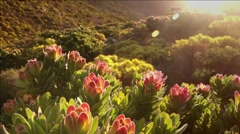Protea flowers, Table Mountain Stock Footage