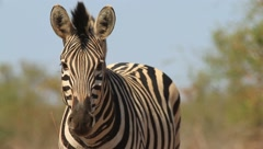 Zebra portrait - stock footage