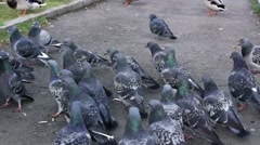 Bustling crowd of pigeons Stock Footage