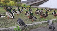 Lakeside rookery of ducks and pigeons Stock Footage