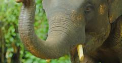 Face of large Asian elephant in natural park Stock Footage