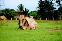the cow animal in thailand, it's a mammalia. - stock photo