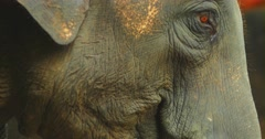 Close up video of elephant eating grass Stock Footage