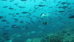Hammerhead shark swims with many reef fish - stock footage