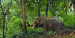 Elephant in tropical jungle forest Stock Footage