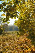 Maple trees and maple leaves landscape Stock Photos