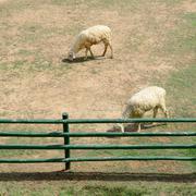 Sheep in animal farm Stock Photos