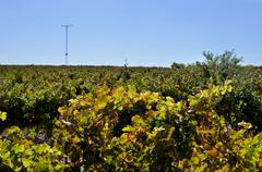 Big vineyard in summertime Stock Photos