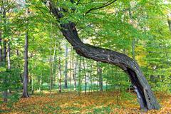 Old crooked tree in the forest Stock Photos