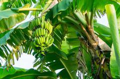 bunch of bananas on tree - stock photo