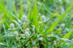 white globe amaranth  flower - stock photo
