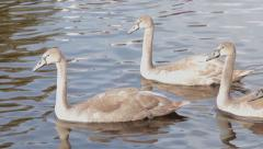 Beautiful Family of Swans and Cygnets with Ducks in River Stock Footage