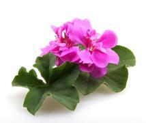 Stock Photo of geranium pelargonium flowers