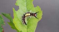 Vapourer Moth ( Rusty Tussock ) Caterpillar Stock Footage