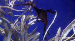 Footage of two weedy sea dragons in an aquarium Stock Footage