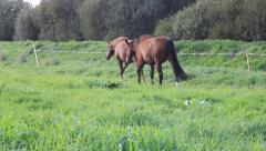 Two horses moving through high grass step by step Stock Footage