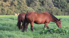 Two horses  feeding grass in the meadow Stock Footage
