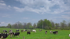 Driving by dairy cows grazing along a country road Stock Footage