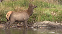 Cow Elk Drinking Stock Footage
