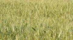 Unripe wheat in the field Stock Footage