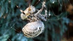 Stock Video Footage of Cross spider (Araneus diadematus) caught wasp in his web