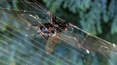 Fly caught in a spiders web on meadow Stock Footage