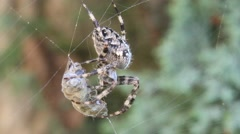 Cross spider caught wasp in his web Stock Footage