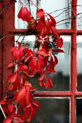 Climbing plant with red leaves Stock Photos