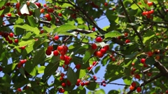 Agriculture,  red cherry fruit at tree branch Stock Footage