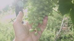 0469 White wine grape. Prosecco Stock Footage