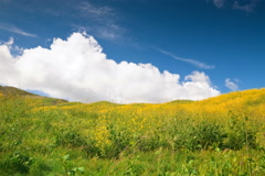 4k Time lapse, Rolling clouds behind yellow wild mustard hillside Stock Footage