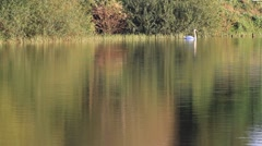 Lake with swan in evening sun Stock Footage