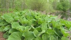 Common Butterbur (Petasites hybridus) on pond edge + pan pond Stock Footage