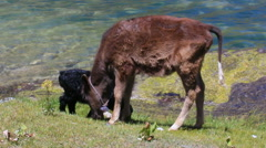 Lamb and heifer eating grass. 1280x720 Stock Footage