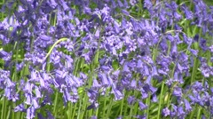 Common Bluebell, Scilla non-scripta - low angle flowers in full bloom Stock Footage