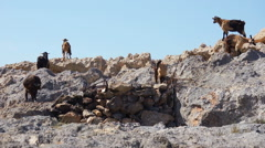 Goats on stones. Stock Footage