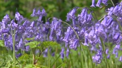 Common Bluebell, Scilla non-scripta in bloom - low angle clusters blue flowers Stock Footage