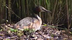 Great crested grebe (podiceps cristatus) on nest - close up Stock Footage