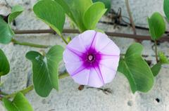 ipomoea flowers or  goat's foot creeper flower or ipomoea pes-caprae (linn.) - stock photo