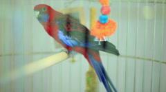 Crimson rosella parrot (Platycercus elegans) Stock Footage