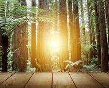 sunlight in redwood trees forest - stock photo