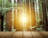 Stock Photo of sunlight in redwood trees forest