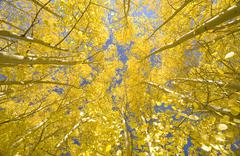 Looking skyward at bright yellow quaking aspens and blue sky Stock Photos