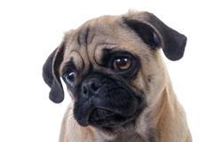 adorable pug dog head closeup over white background - stock photo