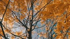Bautiful tree. Blue sky. Autumn leaves. SLow movement. Stock Footage