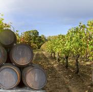 wine yard with grape - stock photo