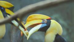 Courtship behavior and mating rituals during breeding of two Hornbills birds Stock Footage