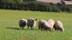 Five grazing sheep Stock Footage